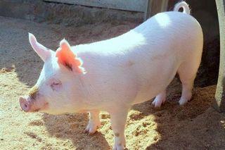 <おいしい情報をお届けするコラム>豚肉の部位の特徴を知っておいしさを味わおう