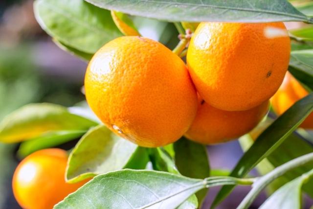 <おいしい情報をお届けするコラム>熱に弱く水溶性のビタミンCを効率良く摂取!みかんを食べて風邪予防
